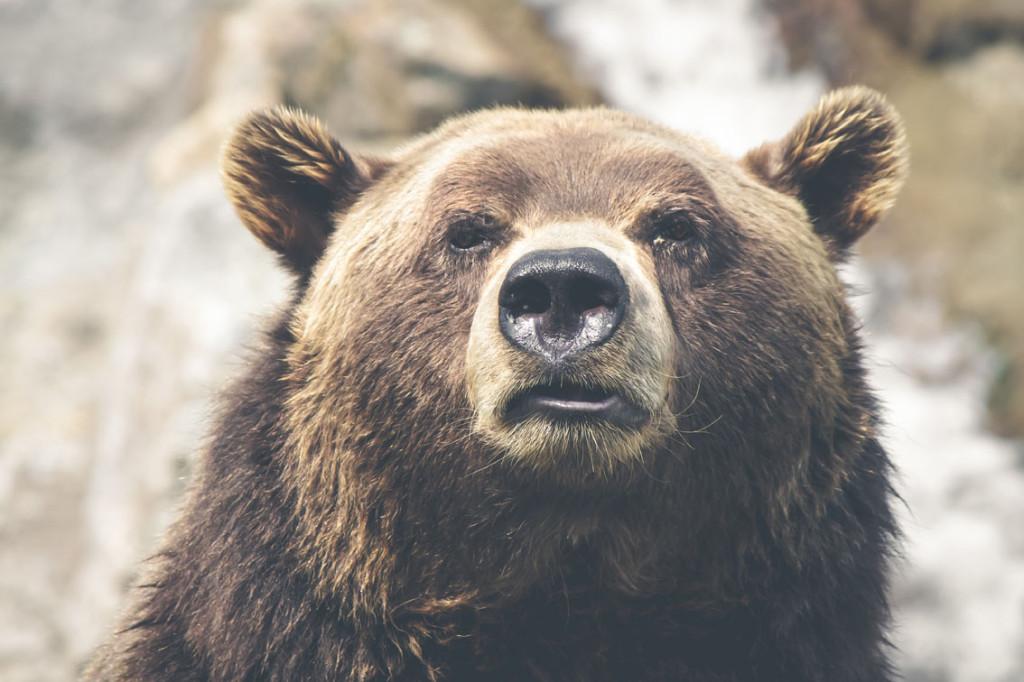 Bear by  Thomas Lefebvre