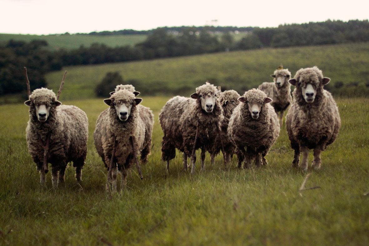 Schafe | unsplash.com