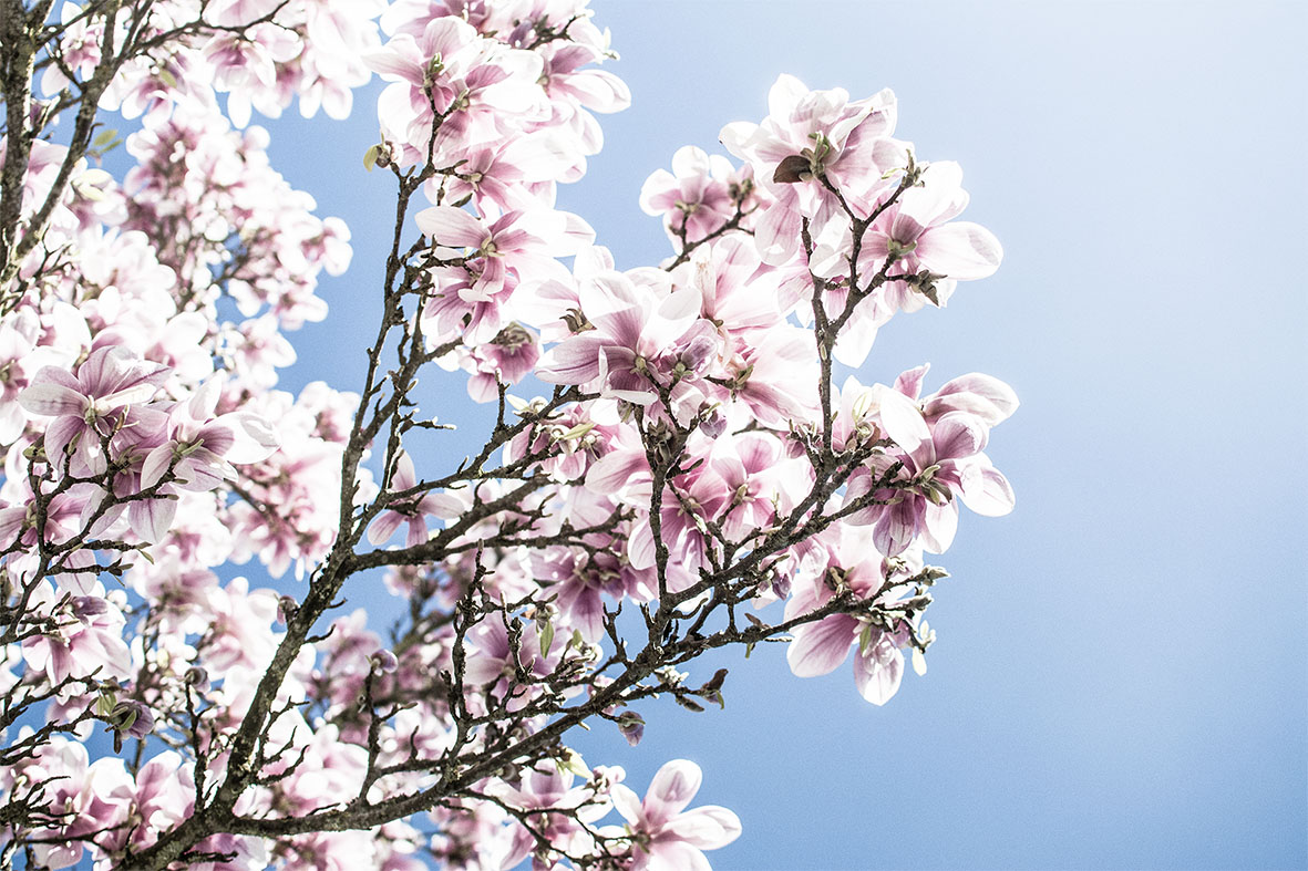 Magnolie | chestnutandsage.de